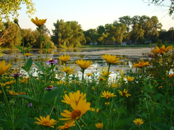 yellow-flowers-by-lake-5